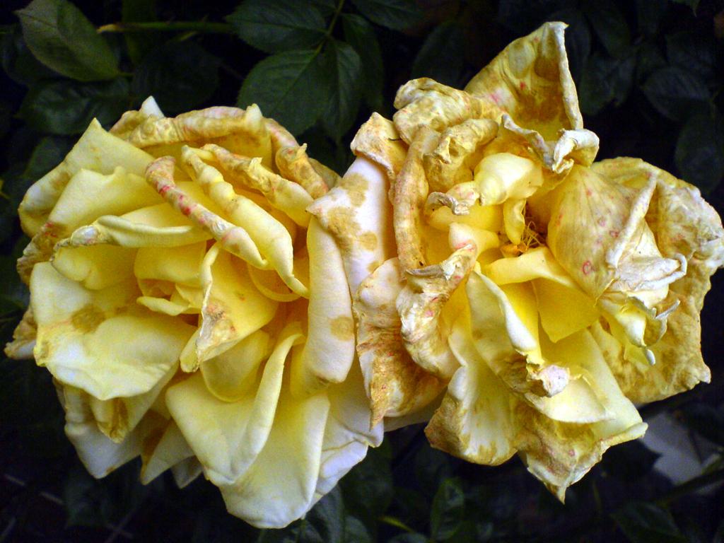2008-0578 oude rozen